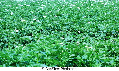 Potato field with flowers