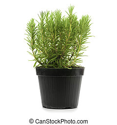 rosemary inside a black pot over a white background,...