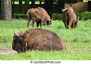 European bisons - Bialowieza - national park and UNESCO...
