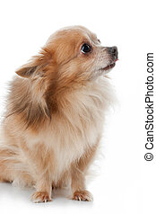 Chihuahua dog portrait close-up on white background