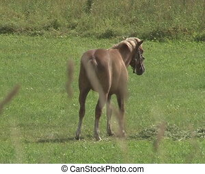 horse grazing meadow - Horse grazing in green meadow and...