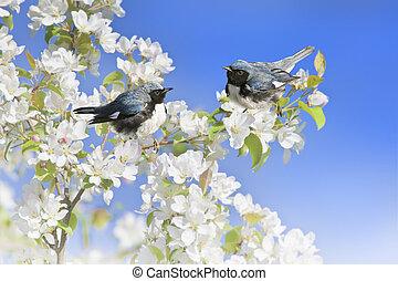 Ontario birds - Black-Throated Blue Warblers perching apple...