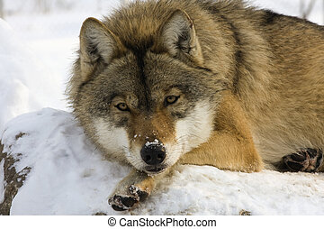 European gray wolf (Canis lupus lupus) is sleeping