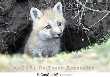 Curious Baby Fox - I was close in on a baby fox looking out...