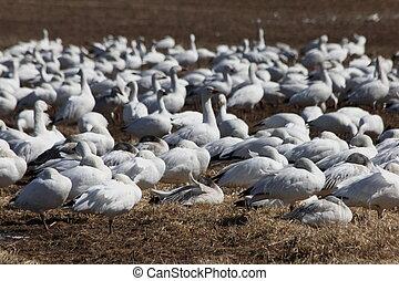 windy snow geese