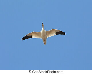 snow goose belly