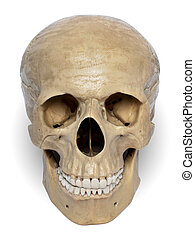 Human Skull - Human skull model isolated