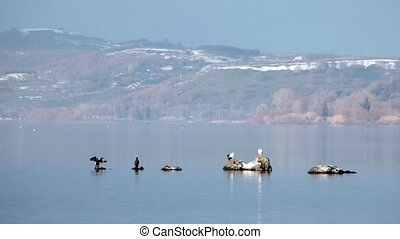 Cormorans And Seagulls - Video clip of cormorans and...