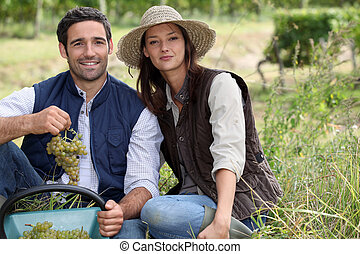 Couple picking grapes in a vineyard