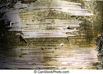 Silver birch tree trunk texture in Spring