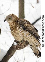 Honey buzzard Pernis apivorus