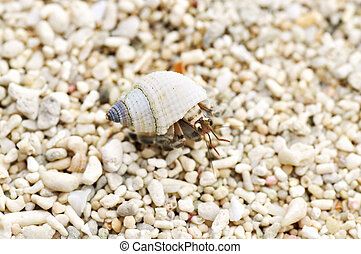 Hermit Crab - Tiny little hermit crab on the beach