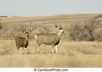 Mule Deer Buck and Doe - a mule deer buck stands with a doe...