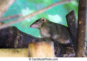 Northern tree shrew (Tupaia belangeri)