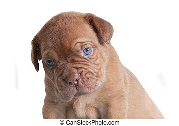 French Mastiff portrait - French Mastiff isolated portrait