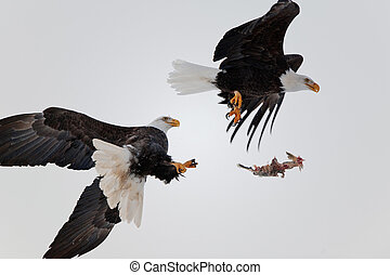 Bald Eagles fight in air - Eagles fight in air. Two Bald...