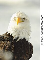 Close up Portrait of a Bald Eagle - Winter Close up Portrait...