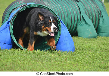 Bernese Mountain Dog at a Dog Agility Trial - Bernese...