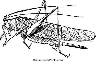 Grasshopper vintage engraving - Old engraved illustration of...