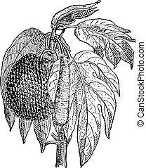 Jackfruit (Artocarpus heterophyllus), vintage engraving. -...