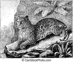 Jaguar, vintage engraving. - Jaguar, vintage engraved...