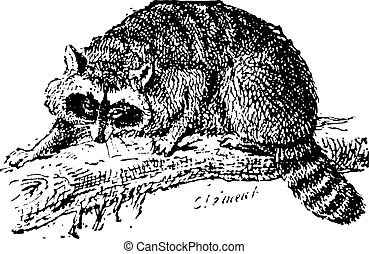 Raccoon or Common Raccoon, vintage engraving - Raccoon or...