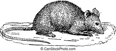 Mouse, vintage engraving. - Mouse isolated on white...