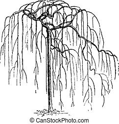 Sophora Japonica or Japanese pagodatree (Styphnolobium...