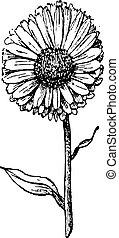 Marigold flower, vintage engraving. - Marigold flower...
