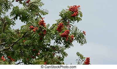 rowan branches with red berries - autumn rowan branches with...