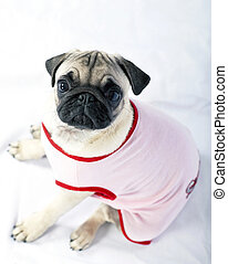 Pug puppy dressed in pink