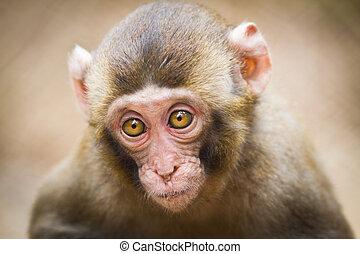 Closeup of a baby Japanese macaque (Macaca fuscata)