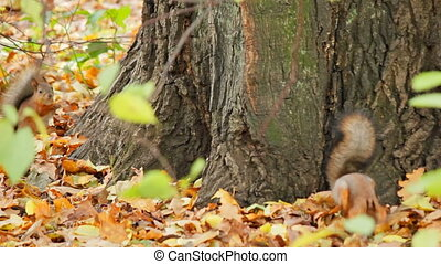 Squirrels search for meal