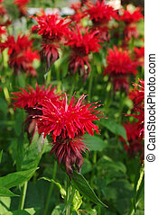 Flowering bee balm plants - Monarda mint flowers in garden...