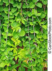 ściana, Pnącze, roślina, zielony