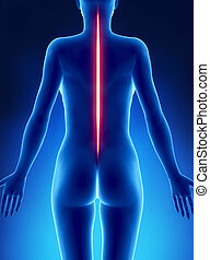 Good posture spine concept