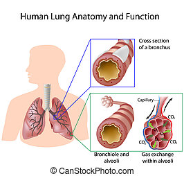 humano, pulmón, anatomía, y, función,...