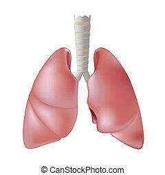 humano, pulmón, eps8