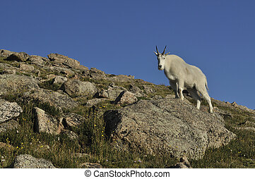 Mountain Goat - Mountain goat, Oreamnos americanus.