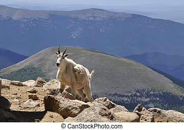 Mountain Goat - Mountain goat, Oreamnos, americanus