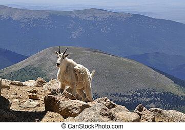 Mountain Goat - Mountain goat, Oreamnos, americanus