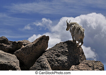 Mountain Goat Climbing Rocks - A mountain goat, Oreamnos,...