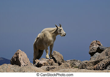 Mountain Goat - A mountain goat, Oreamnos americanus, on Mt....