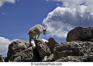 Mountain Goat Climbing - A mountain goat climbing rocks on...