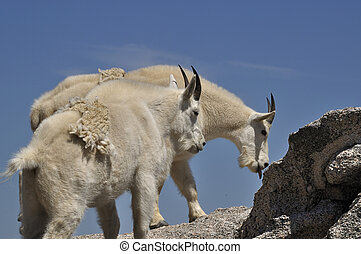 Mountain Goat - Two mountain goats, Oreamnos americanus, on...