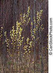 Pussy willow - Branches of pussy willow in early spring