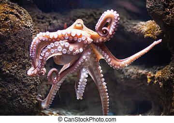 etéreo, pulpo, profundidad, (Octopus, vulgari)