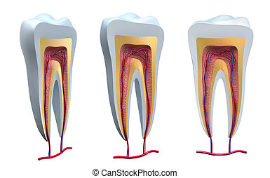 Anatomy of healthy teeth in details Isolated 3D image