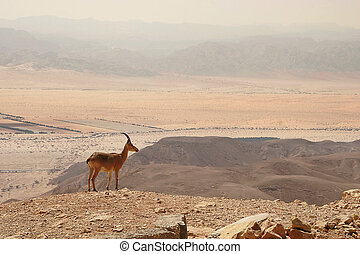 Ibex on the cliff. - Ibex stands on the cliff at Ramon...