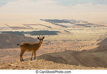 Ibex on the cliff. - Ibex on the cliff at Ramon Crater...